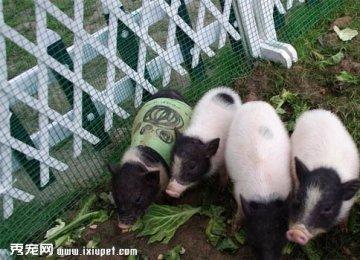 微型猪多少钱一只 外形特征 饲养方法【图】