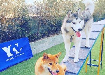 柴犬和哈士奇图片_柴犬高清写真照