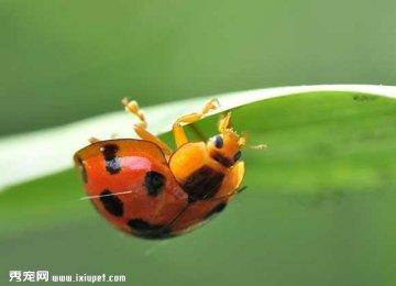 十三星瓢虫吃什么食物?
