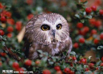 猫头鹰吃什么食物?