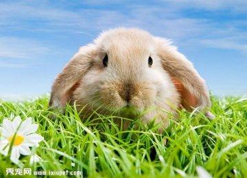 兔子的长耳朵有何功能?