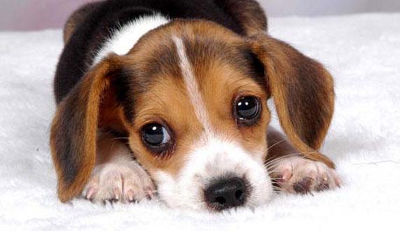 狗狗眼睛干涩是怎么回事?