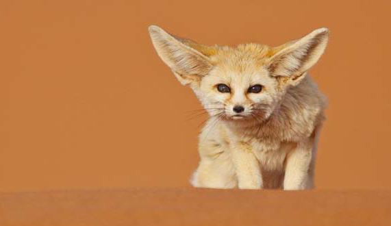 【耳廓狐听力好吗】耳廓狐的声音指什么?