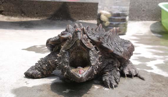 【鳄龟怎么养】刚出生的鳄龟怎么养?