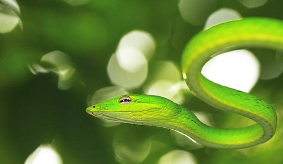 【绿瘦蛇价格】绿瘦蛇习性特征_有没有毒