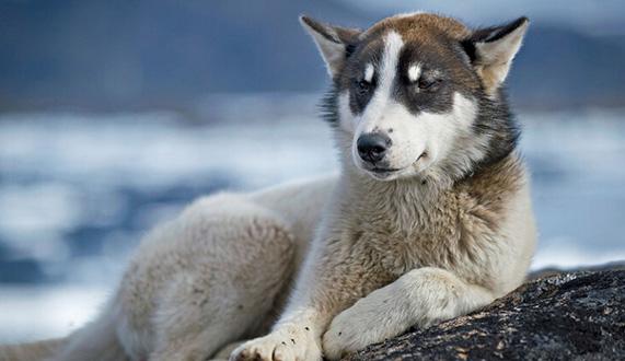 【格陵兰犬价格】格陵兰犬好养吗_图片_训练