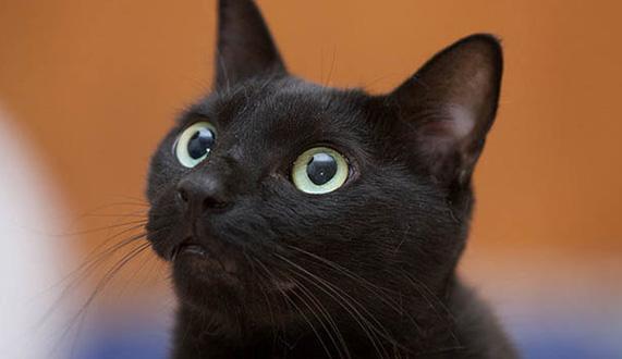 【中国玄猫价格】玄猫的传说_图片_颜色_多少