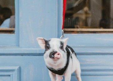 其实二师兄小时候还是挺萌的,不一样的宠物猪