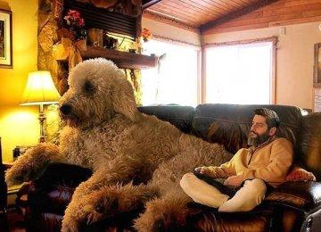 见过如此大的贵宾犬吗,它有一个感