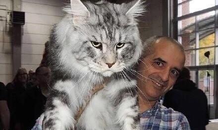 猫咪集锦:最大的宠物猫和最小的宠