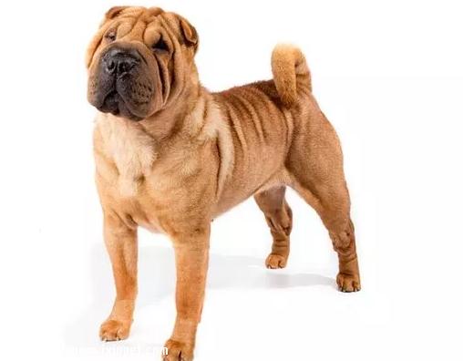 国宝级斗狗,中国沙皮犬应该如何饲养