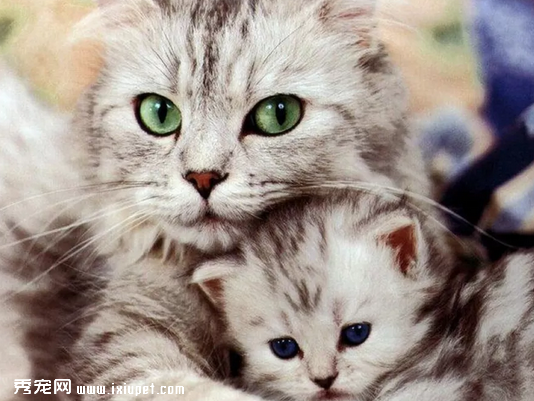 猫咪特发性膀胱炎是什么原因引起的,应该如何
