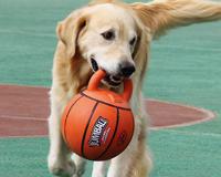 GiGwi贵为训练互动建宝球,大型犬训练互动玩