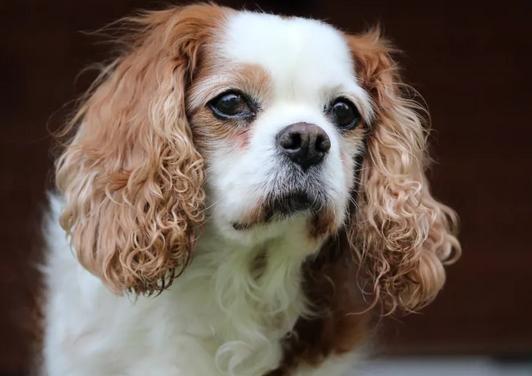 如何确诊狗狗传染性肝炎