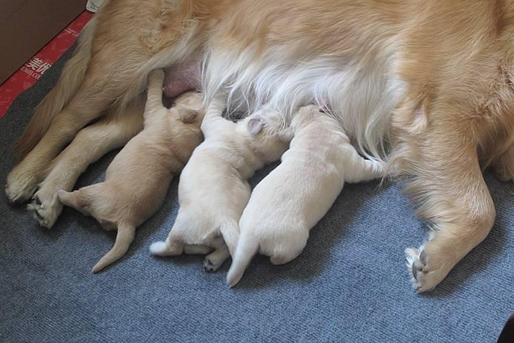 狗狗在家中分娩,主人需要协助做的一些事情