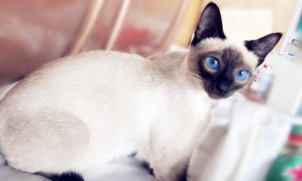 暹罗猫可以养笼子里吗 教你暹罗猫正确饲养方法
