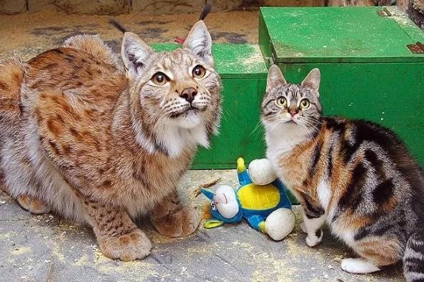 猫咪误入猛兽区,它们竟然成了好朋友