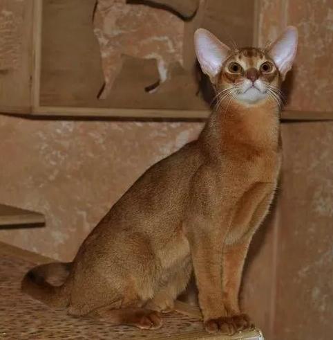 阿比西尼亚猫的特征和性格