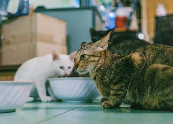 猫咪只吃肉,该怎么纠正