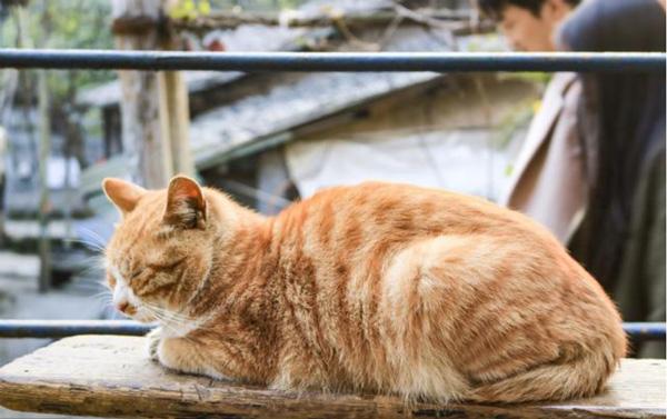 猫太胖了毁所有怎么办? WOWO猫粮为你解决