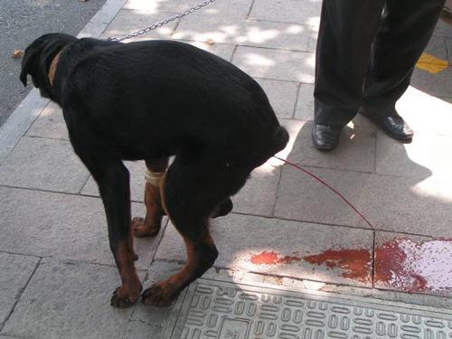 狗狗大便中带血是什么原因导致的?