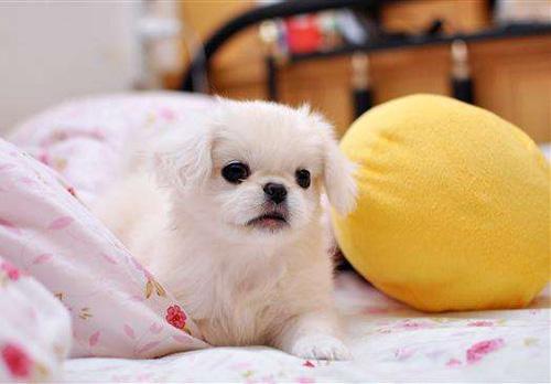 狗狗急性胰腺炎的症状危害及治疗方法