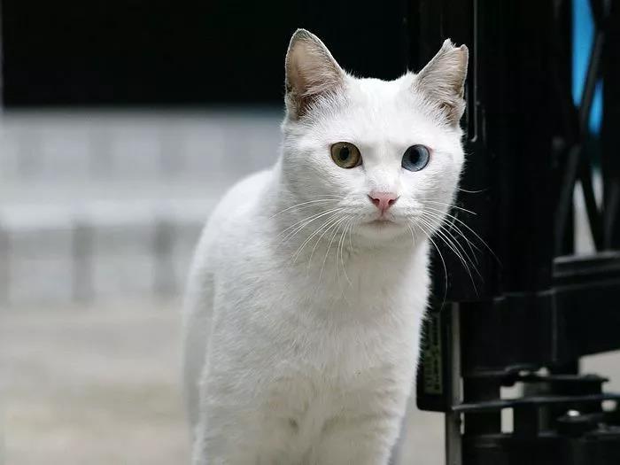 貓咪的注射和吸入式麻醉的區別,小錯誤就有可