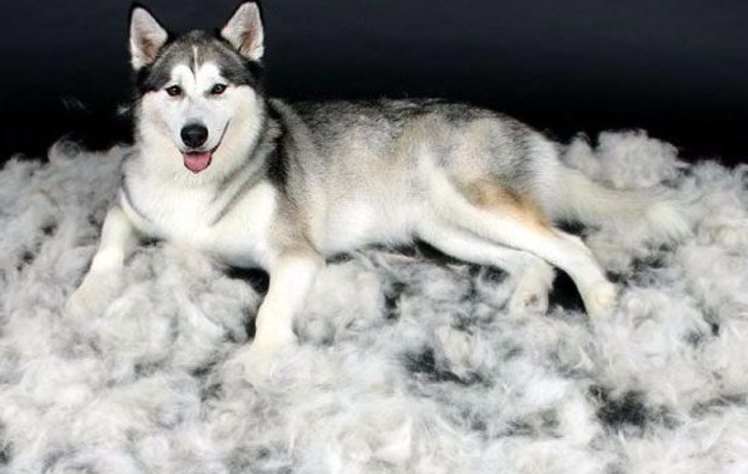 狗狗掉毛分為生理性和病理性,戳進來看你家狗