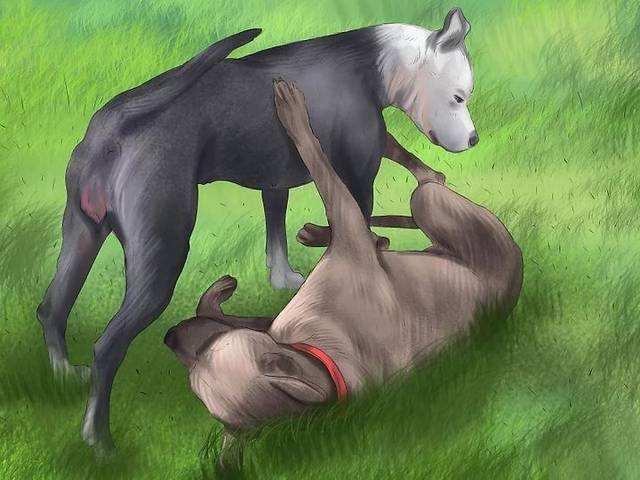 狗狗发情后多久交配,狗狗交配需要准备些什么