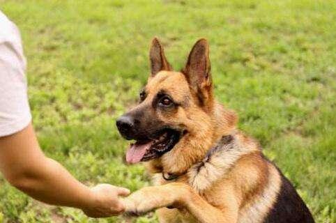 如何训练狗狗握手