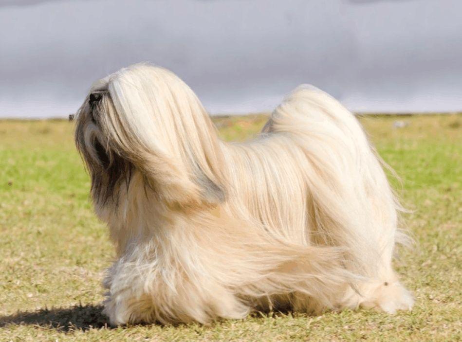 长毛狗狗的毛发应该如何护理