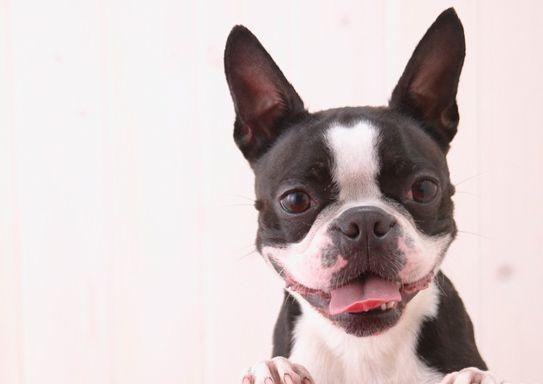 短毛狗狗的毛发护理工具及护理方法