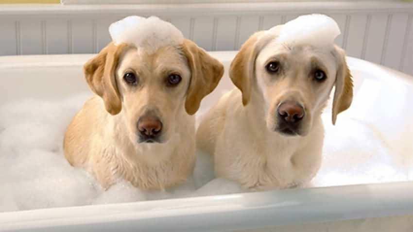 如何给狗狗洗澡,狗狗洗澡准备事项及注意事项