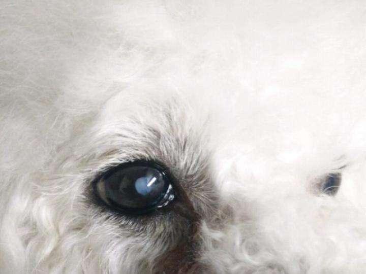 盤點狗狗容易患的這些眼部疾病