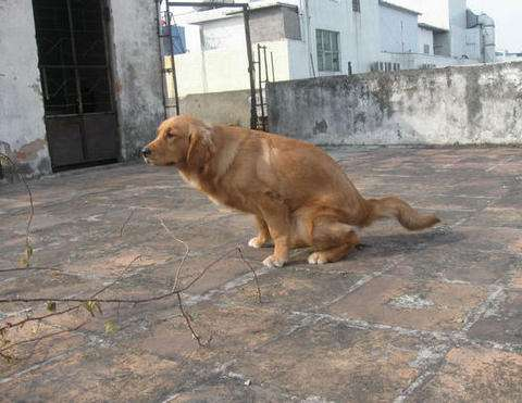 狗狗为什么会便秘,狗狗拉不出屎怎么办