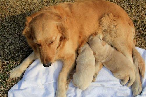 母犬产后应该怎么保健