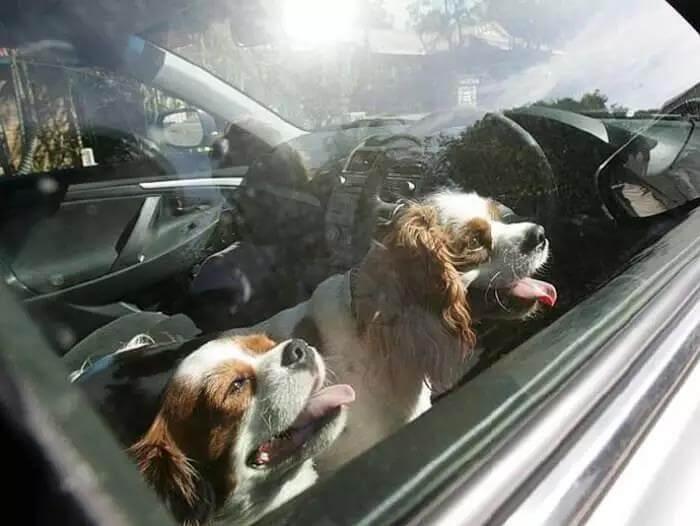 夏季来临,把狗狗留在车里是比较危险的,千万