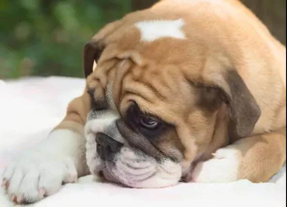 狗狗超重不一定是肥胖,还有7种原因!