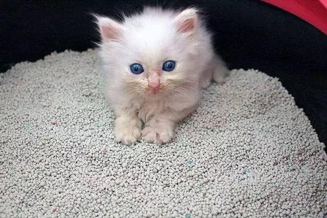 猫咪随地大小便,可能是猫砂的问题!