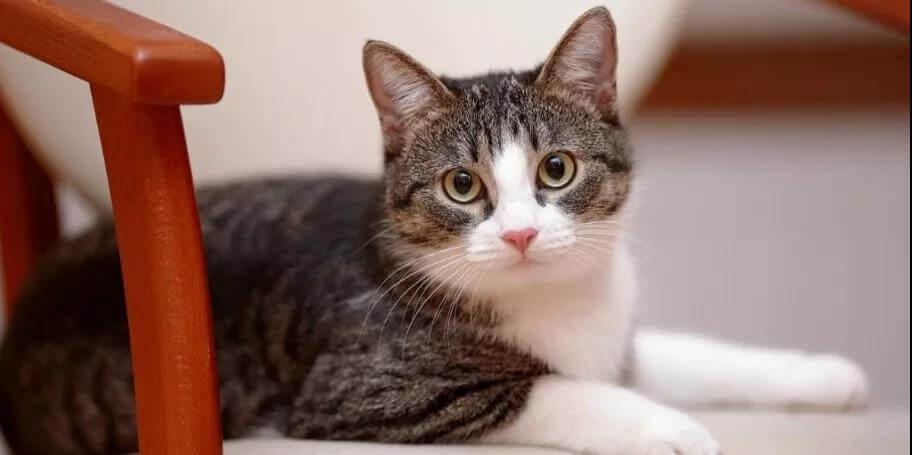 猫咪绝育后发胖?猫咪绝育之处方粮使用,教你
