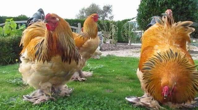 宠物鸡有哪些品种?宠物鸡品种介绍