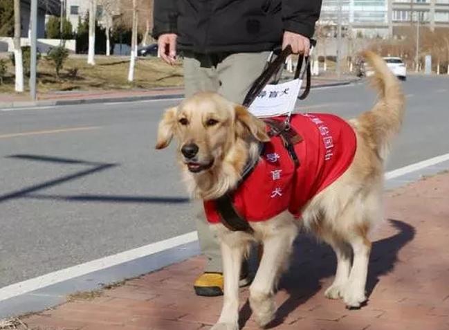 导盲犬一生的这几个阶段,你了解吗?