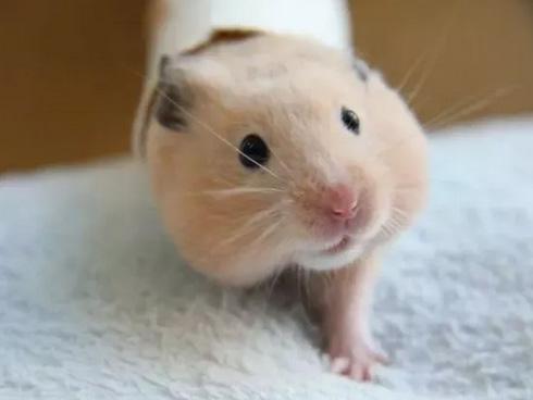 仓鼠腹泻是什么原因引起的?