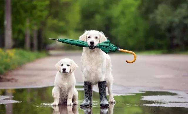 狗狗在雨季出门需要注意这些事项