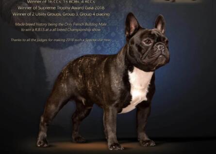 2020英国Crufts犬展 宠物犬美容一